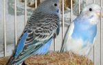Аллергические реакции на попугаев