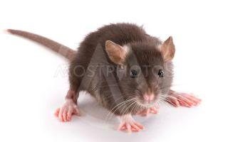 Аллергический ответ организма на мышей